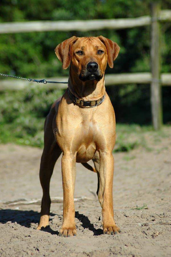 De voorzijde van de hond royalty-vrije stock foto's
