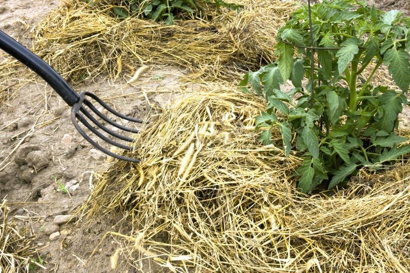 De vork die van het hooi tomatenplanten met mulch bedekt royalty-vrije stock fotografie