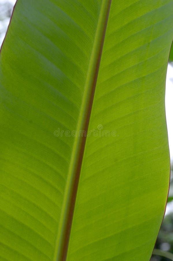 De vorm en de textuur van tropische groene bladeren stock afbeelding