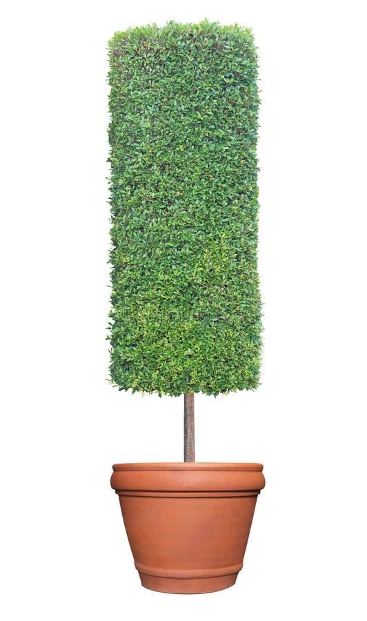 De vorm topiary boom van de cilinderkolom op de pottencontainer van de terracottaklei op witte achtergrond voor formeel Japans en royalty-vrije stock foto's