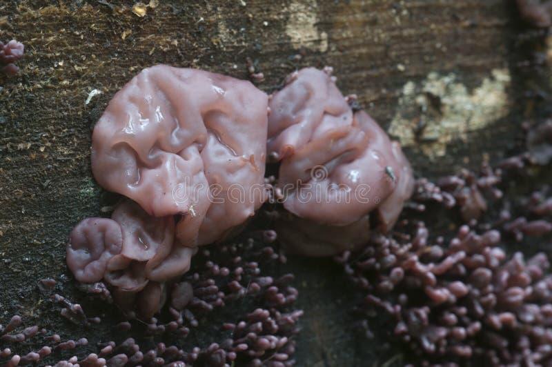 De vorm van het Ascocoryne sarcoides slijm stock fotografie