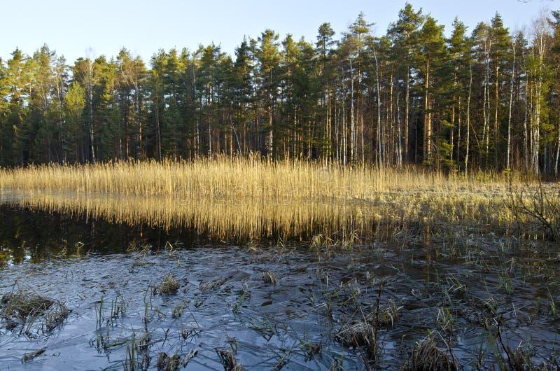 De vorst van de ochtendlente in het bosmeer in Finland stock afbeelding