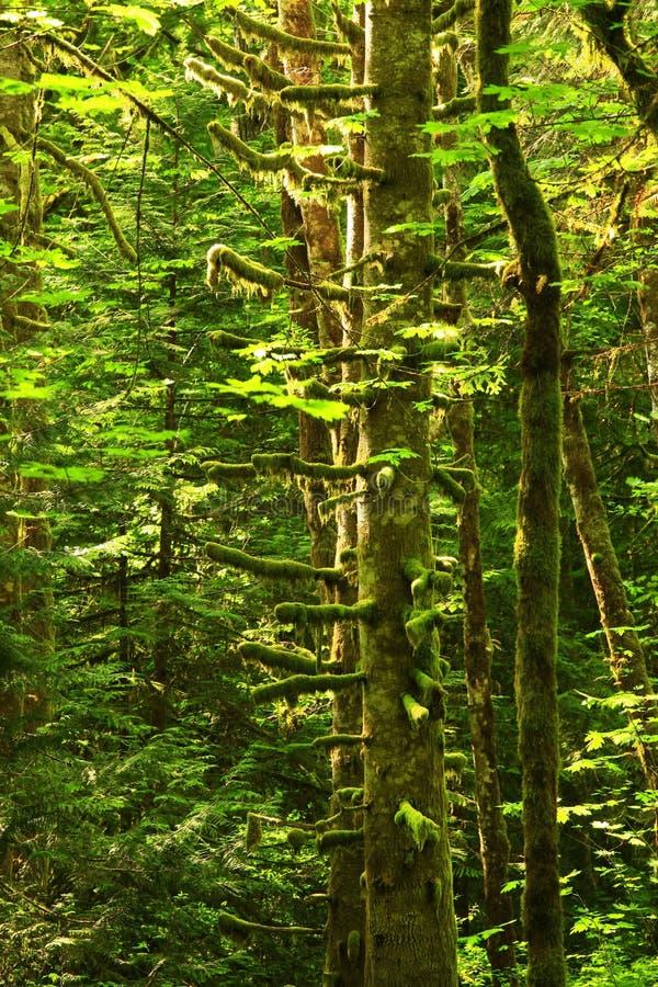 De vreedzame bomen van de Noordwesten bos en Rode Els royalty-vrije stock afbeeldingen