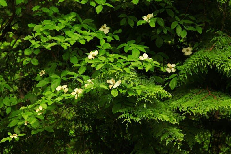 De vreedzame boom van de Noordwesten bos en bloeiende Kornoelje stock fotografie