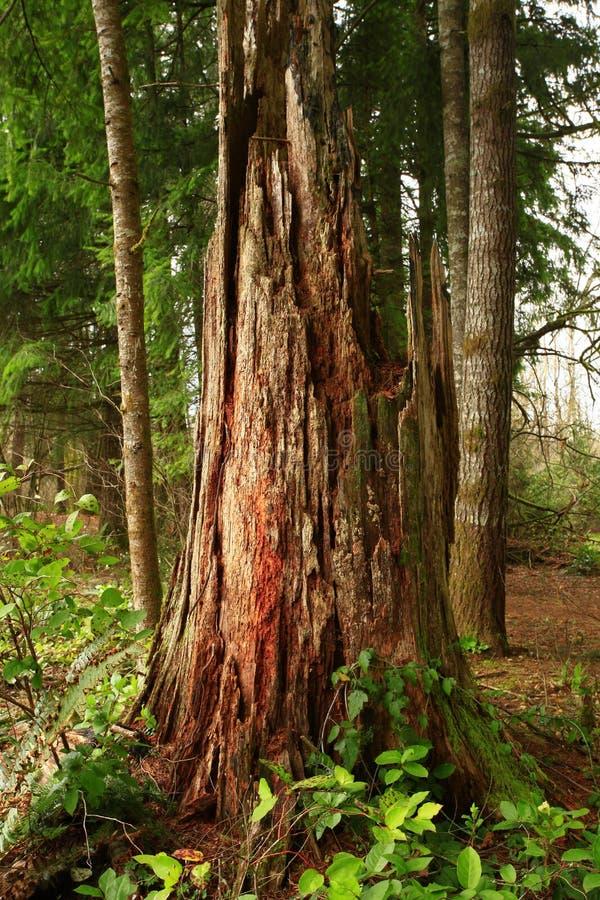 De vreedzame boom van de Noordwesten bos en felled naaldboom stock afbeeldingen