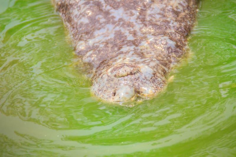De vreselijke krokodil komt uit het water met een toothy grijns te voorschijn royalty-vrije stock fotografie