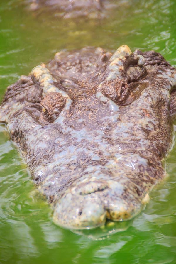 De vreselijke krokodil komt uit het water met een toothy grijns te voorschijn royalty-vrije stock afbeelding