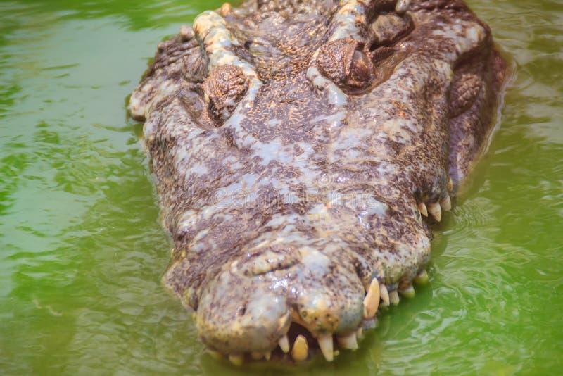 De vreselijke krokodil komt uit het water met een toothy grijns te voorschijn stock afbeeldingen