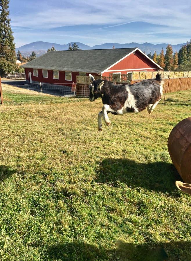 """De vreugde op het Landbouwbedrijf †een"""" geit gaat in de lucht in briljant ochtendlicht stock afbeelding"""