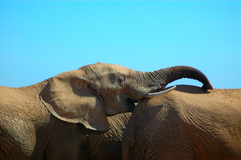 De vriendschap van de olifant stock afbeelding