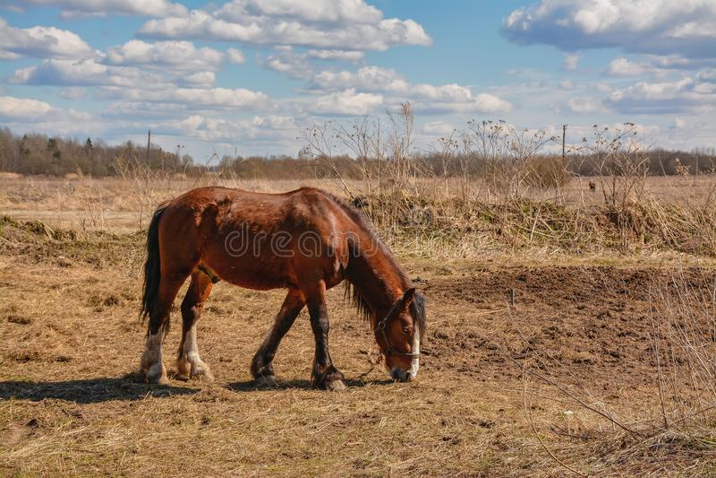 De vroege Lente Het weiden op Pacbase tijdens de winterpaarden dat wordt uitgemergeeld royalty-vrije stock afbeelding