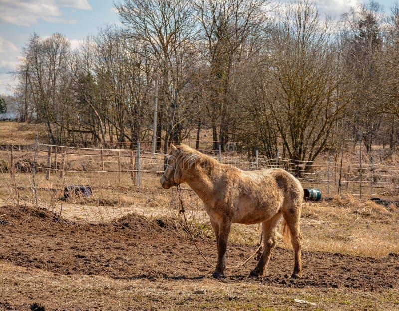 De vroege Lente Het weiden op Pacbase tijdens de winterpaarden dat wordt uitgemergeeld royalty-vrije stock foto
