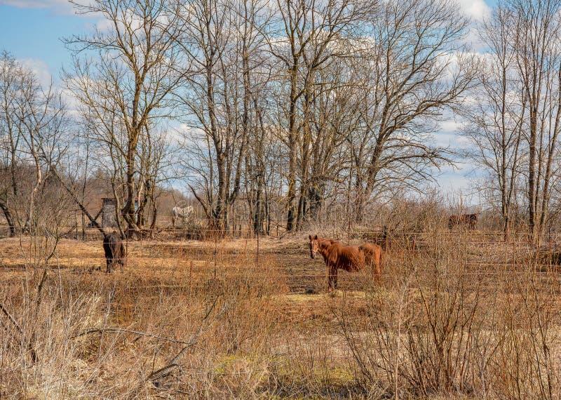 De vroege Lente Het weiden op Pacbase tijdens de winterpaarden dat wordt uitgemergeeld stock fotografie