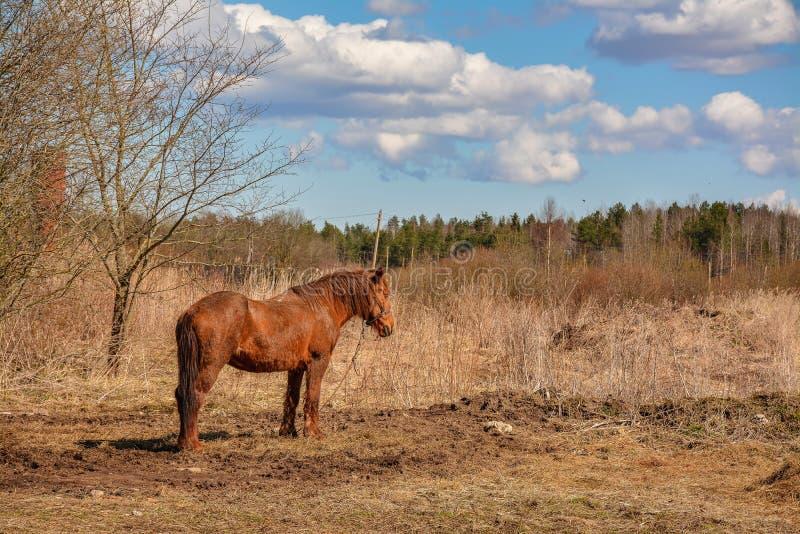 De vroege Lente Het weiden op Pacbase tijdens de winterpaarden dat wordt uitgemergeeld royalty-vrije stock foto's
