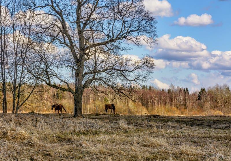 De vroege Lente Het weiden op Pacbase tijdens de winterpaarden dat wordt uitgemergeeld stock afbeeldingen