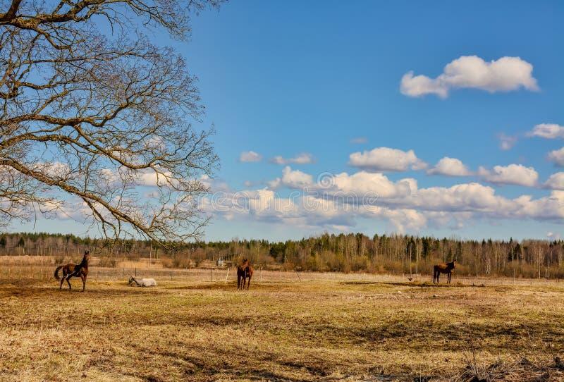 De vroege Lente Het weiden op Pacbase tijdens de winterpaarden dat wordt uitgemergeeld stock foto's