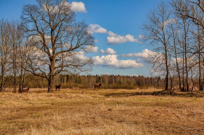 De vroege Lente Het weiden op Pacbase tijdens de winterpaarden dat wordt uitgemergeeld stock foto