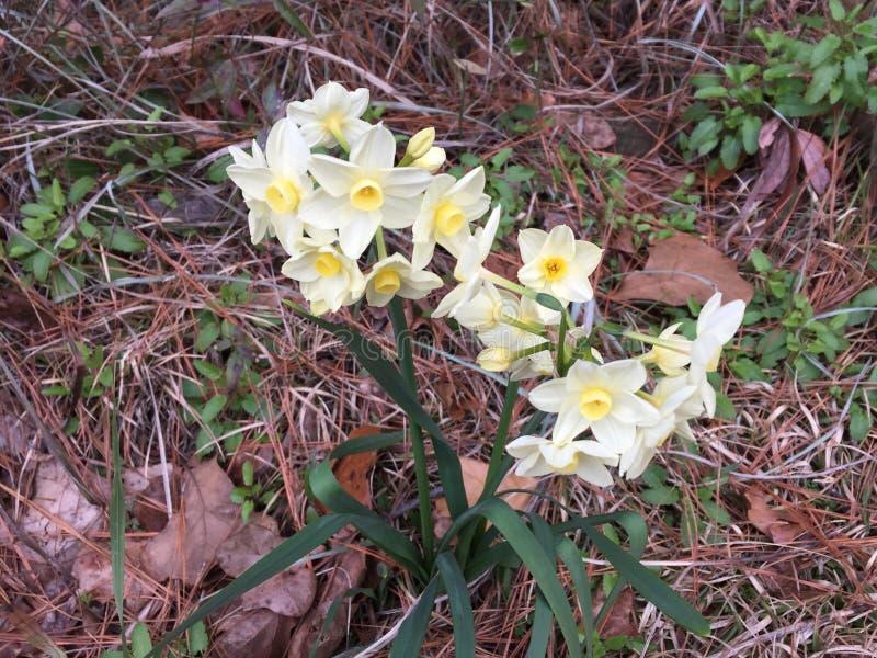 De vroege Lente Narcissus Daffodils stock foto's