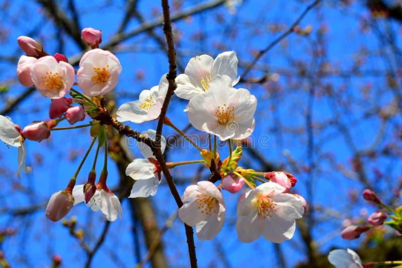 De vroege Lente Sakura Flowers/Cherry Blossom, Japan stock fotografie