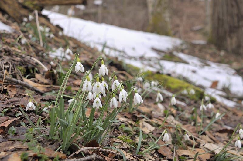 De vroege lente, sneeuwklokjes in Alpen royalty-vrije stock afbeelding
