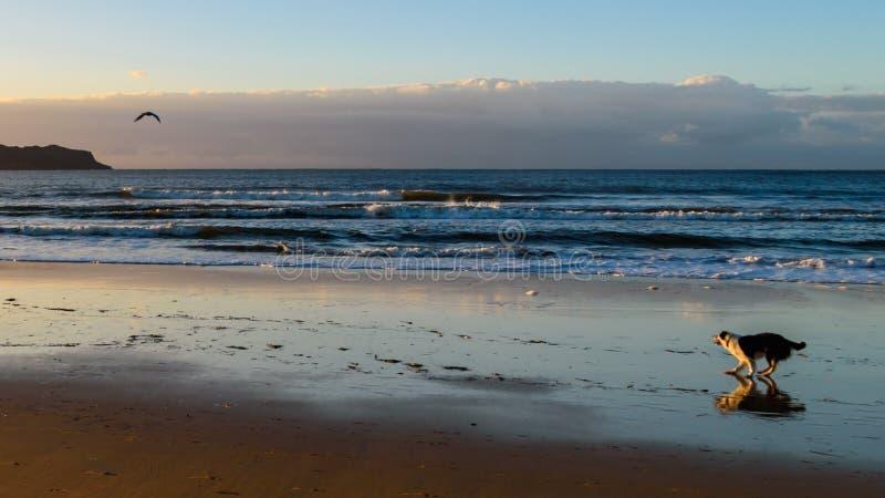 De vroege pret van een hond van de ochtend van-leiband bij het strand stock foto's
