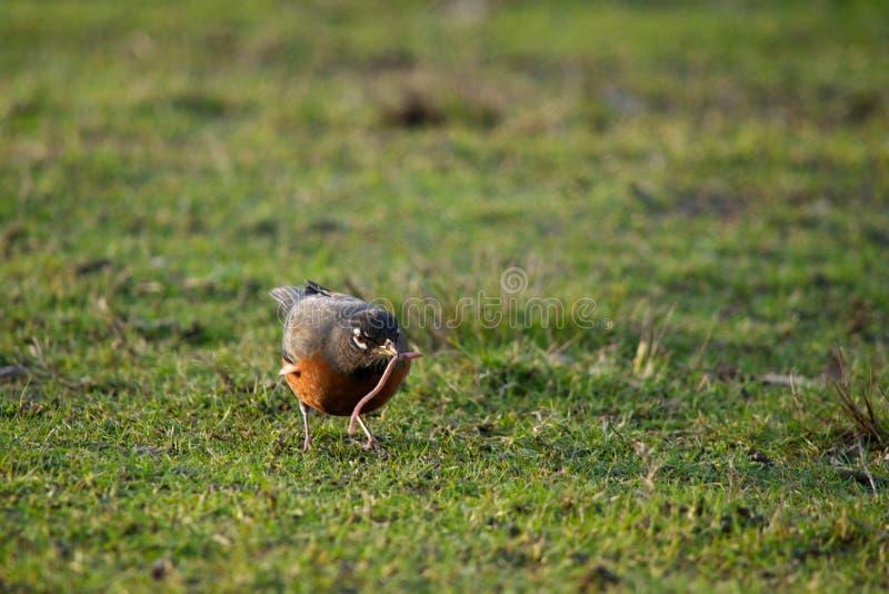 De vroege vogel vangt de Worm royalty-vrije stock foto's