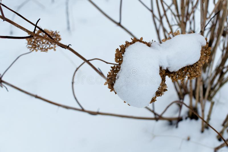 De vroege witte sneeuw viel op droge struikbloemen stock foto