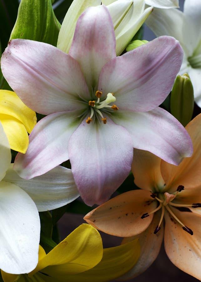 Aziatische Lelies in Pastelkleuren royalty-vrije stock afbeelding