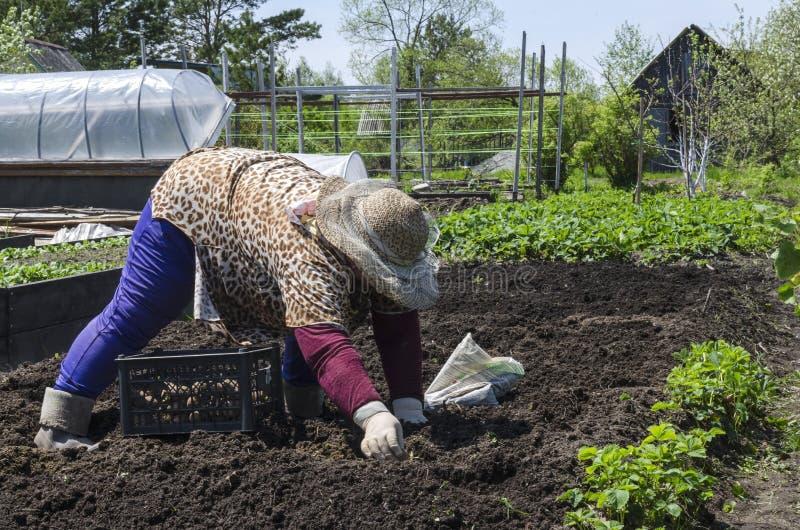 De vrouw bij het plattelandshuisje in de lente die aardappels planten stock fotografie