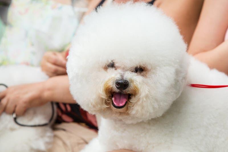 De vrouw die met leuke bichon rusten frise in openlucht puppyhonden royalty-vrije stock fotografie