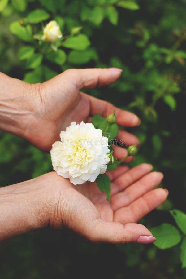 De vrouw die mooie roze houden nam bloem in haar handen zittend in bloeiende de zomertuin toe stock foto's