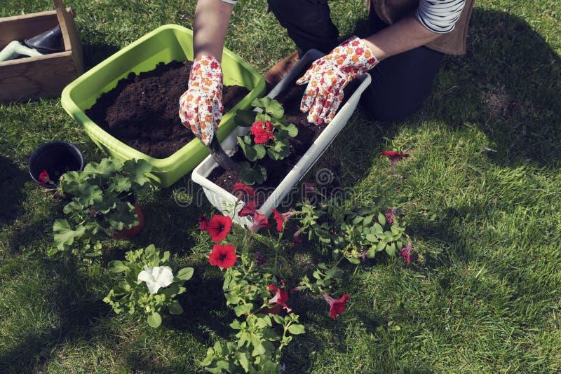 De vrouw dient handschoenen in plantend ooievaarsbek en ipomoea royalty-vrije stock foto