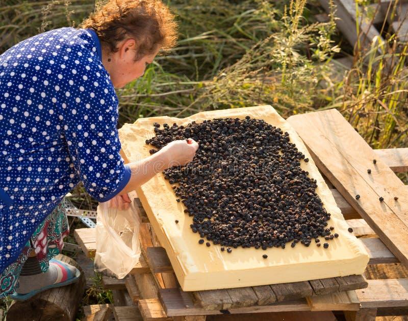 De vrouw droogt bessen van de tuin stock afbeeldingen
