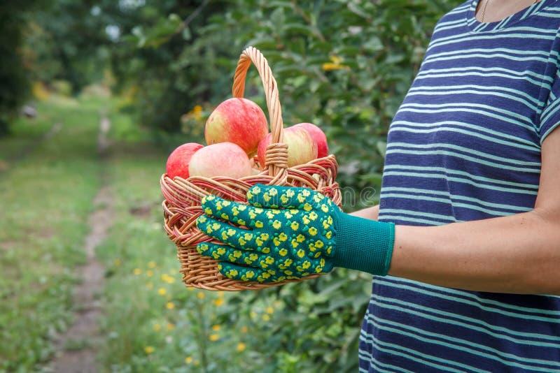 De vrouw houdt rieten mand met rode appelen in haar handen stock fotografie