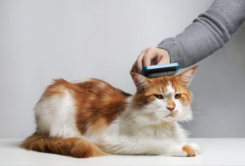 De vrouw kamt het bont van een het sluimeren kat royalty-vrije stock fotografie