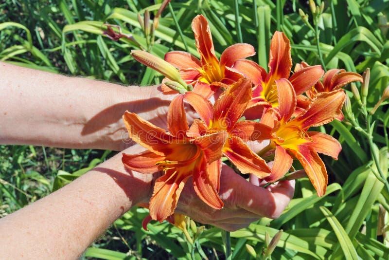 De vrouw - landbouwerszorg en oogsten oranje lelies bloeit stock foto