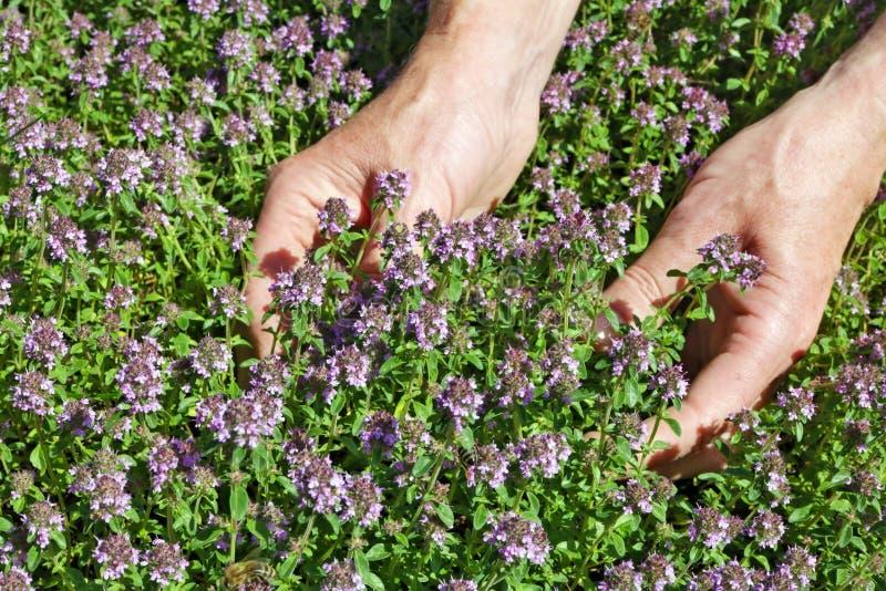 De vrouw - landbouwerszorg en verzamelt een het kruidkruid van de thymeorego royalty-vrije stock foto's