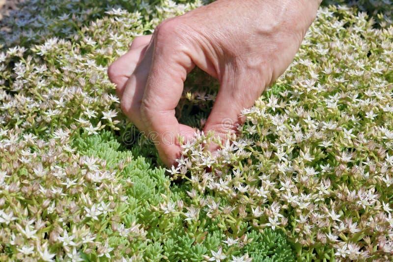 De vrouw - landbouwerszorg en verzamelt een wit bloeit van kruidkruid royalty-vrije stock foto
