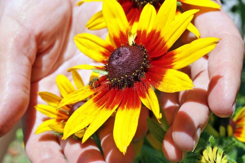 De vrouw - de landbouwerszorg van een decoratieve zonnebloem bloeit met bij stock afbeelding