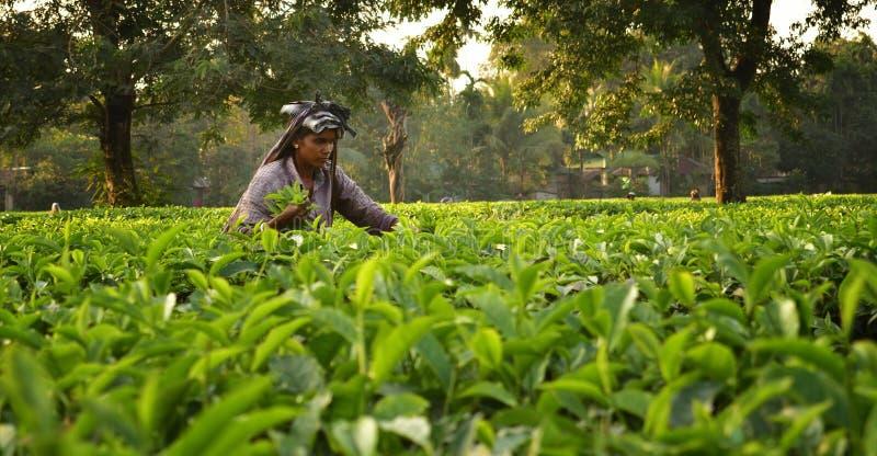 De vrouw neemt thee op doorbladert met de hand bij theetuin in Darjeeling, één van de beste kwaliteitsthee in de wereld, India stock afbeelding