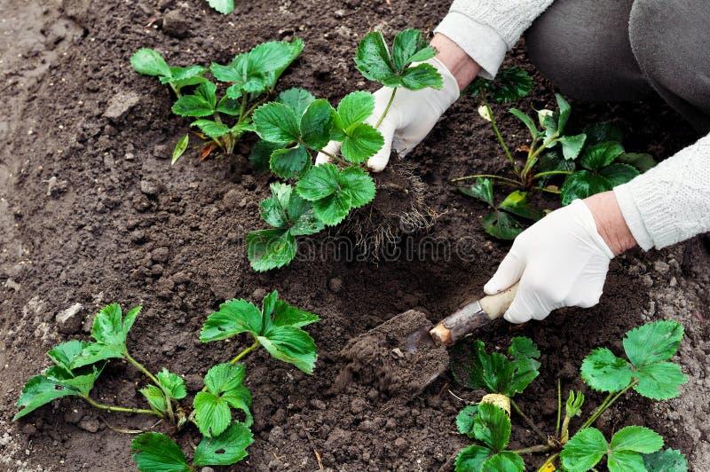 De vrouw plant aardbeieninstallaties stock foto