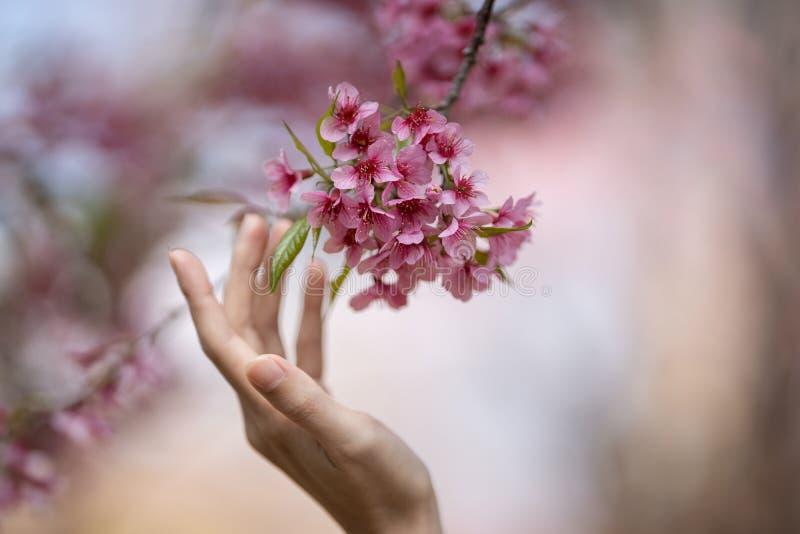 De vrouw raakt de Mooie Roze tak van de bloemen Thaise Sakura van de kersenbloesem met hand stock afbeeldingen