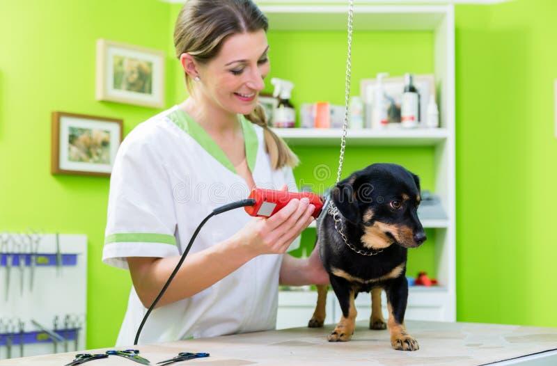 De vrouw scheert hond in huisdier het verzorgen woonkamer stock afbeeldingen