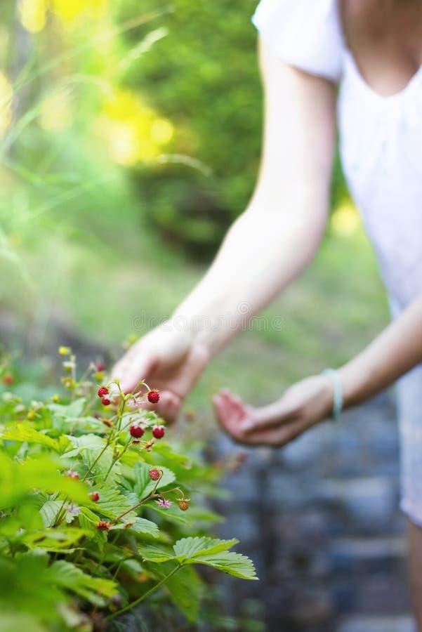 De vrouw verzamelt wilde aardbeien in haar tuin royalty-vrije stock fotografie