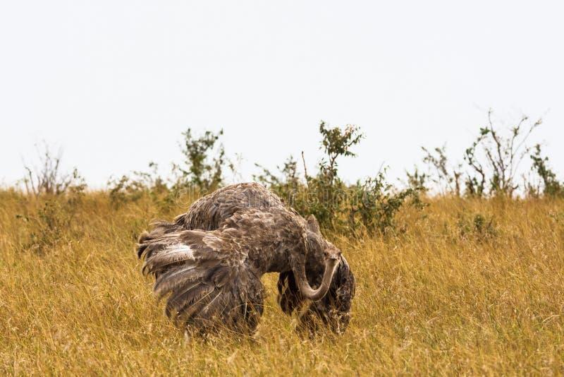 De vrouwelijke Afrikaanse struisvogel De dans van het huwelijk kenia royalty-vrije stock foto's