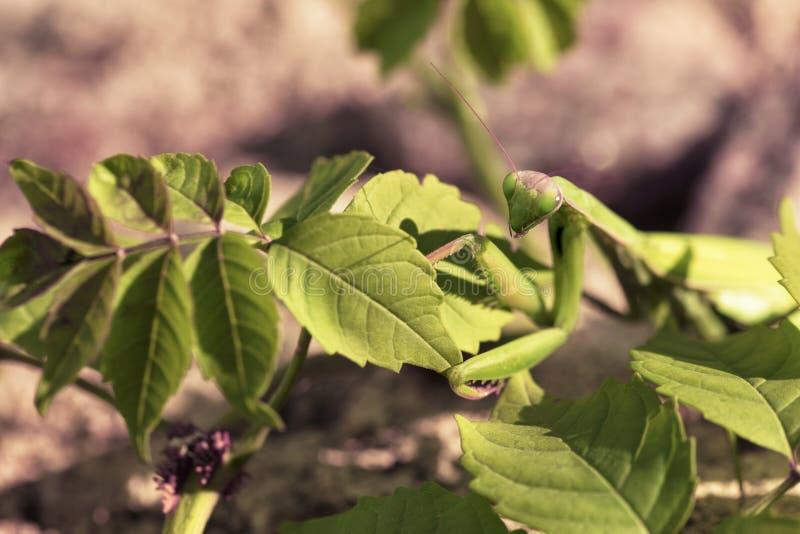 De vrouwelijke bidsprinkhanen sluiten omhoog op een achtergrond van groene bladeren van de struik royalty-vrije stock afbeelding