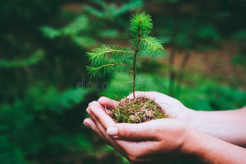 De vrouwelijke boom van de de spruit wilde pijnboom van de handholding in Dag van de aard de groene bosaarde bewaart milieuconcep stock foto's