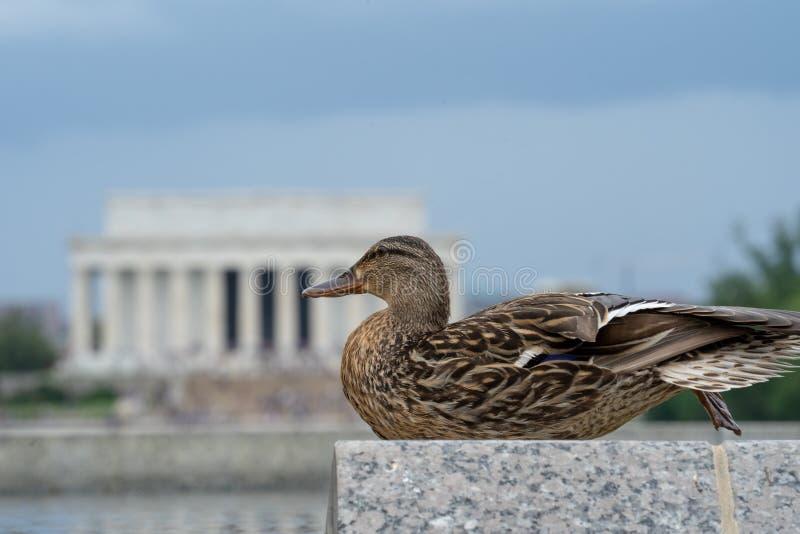 De vrouwelijke eendwilde eend zit op een steenmuur op het National Mall in Washington DC, met Lincoln Memorial defocused opzettel stock foto's