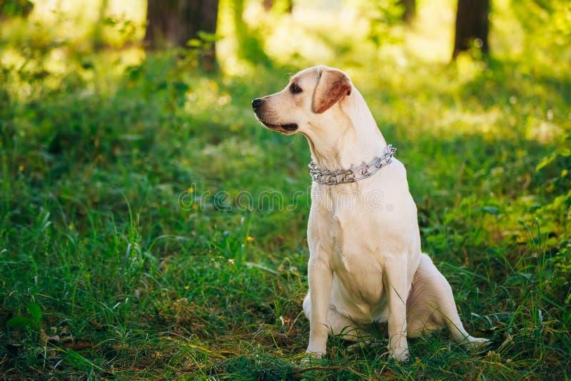 De vrouwelijke Grappige Witte Zitting van de Labradorhond stock fotografie