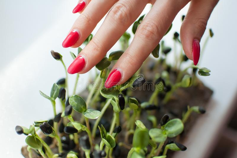 De vrouwelijke hand met rode manicure raakt verse en ruwe spruiten van zonnebloem Gezond voedsel, microgreens thuis bewerkend royalty-vrije stock fotografie